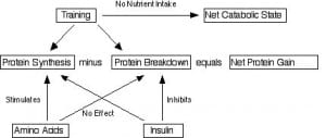 Protein Synthesis and Breakdown
