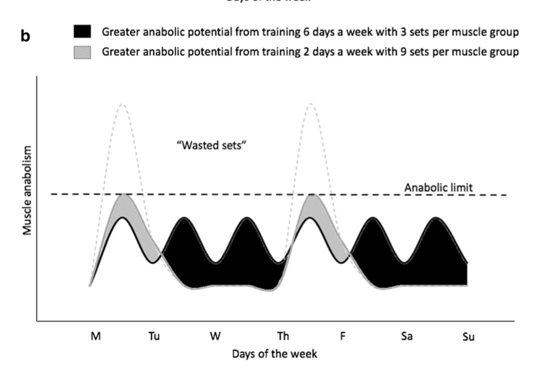 Theoretical Model of Training Frequency Muscle Growth